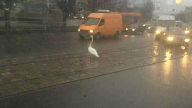На Ленинском проспекте в Калининграде лебедь блокировал движение транспорта (фото)