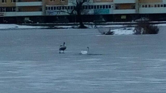 На Летнем озере замерзают лебеди (фото)
