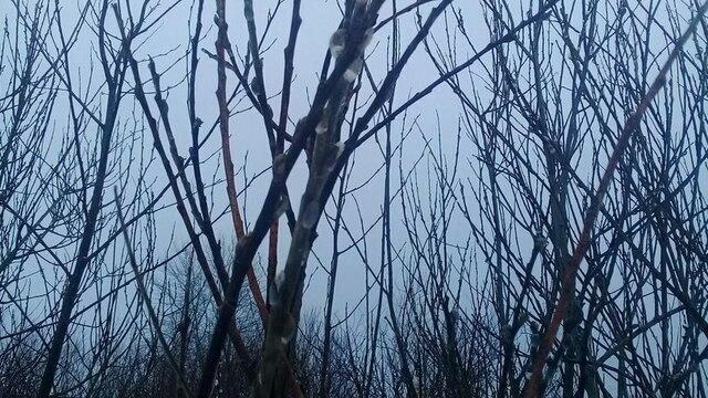 В Багратионовском районе распустилась верба (фото)