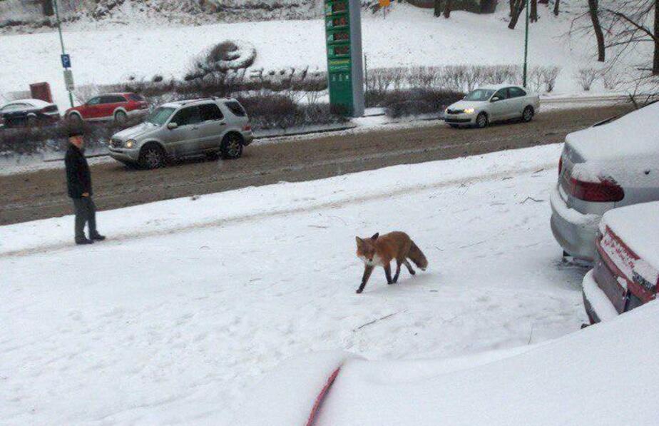 Возле площади Василевского в Калининграде гуляет лиса