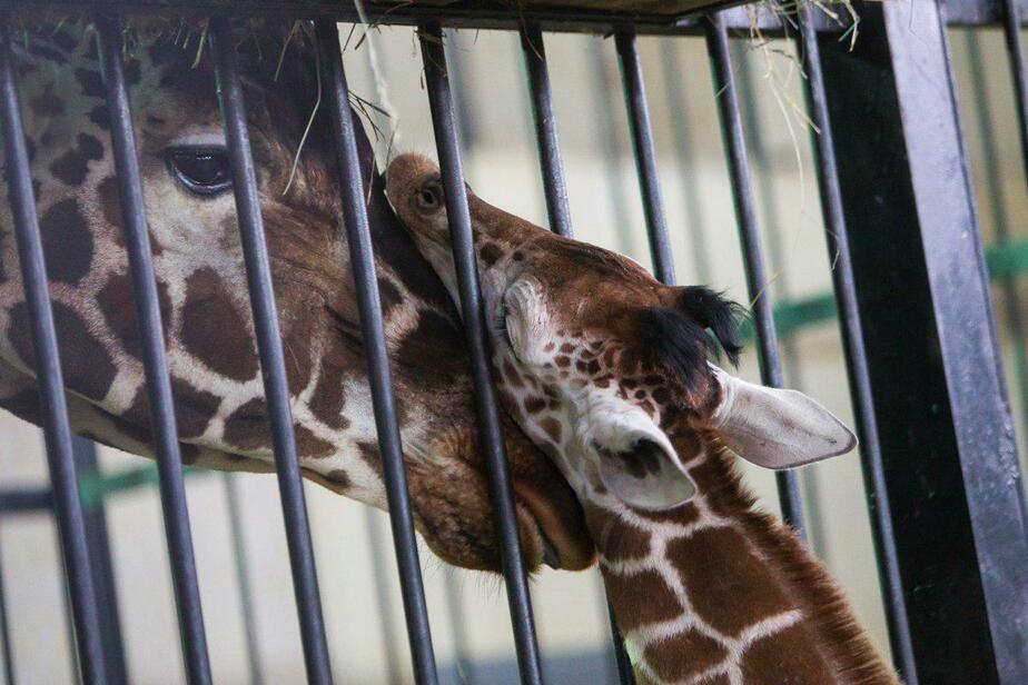 На конкурс по выбору имени для жирафёнка калининградцы прислали 80 заявок, стихи и рисунки
