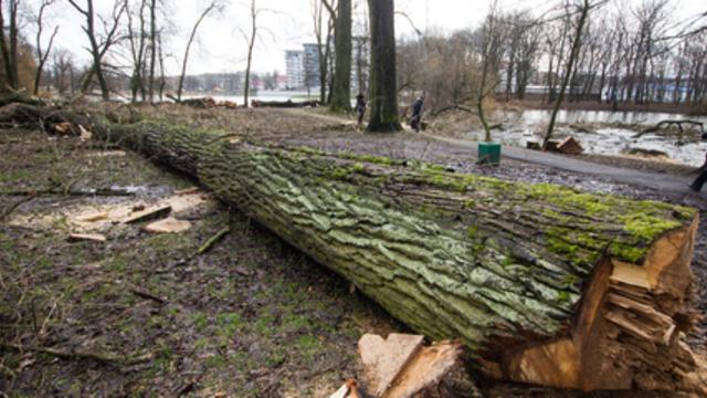 Калининградские экологи обратились к региональным властям с просьбой спасти город от вырубки
