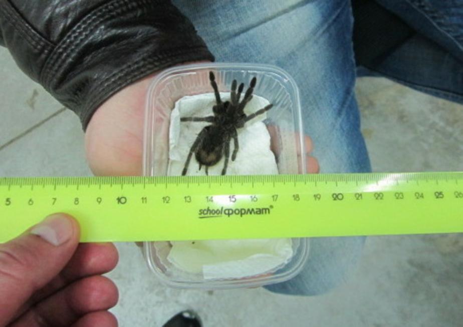 Калининградцы пытались провезти из Польши двух полуметровых змей и огромного паука (фото)