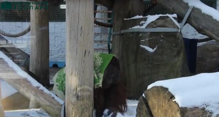 Кадр видеозаписи пресс-службы Калининградского зоопарка
