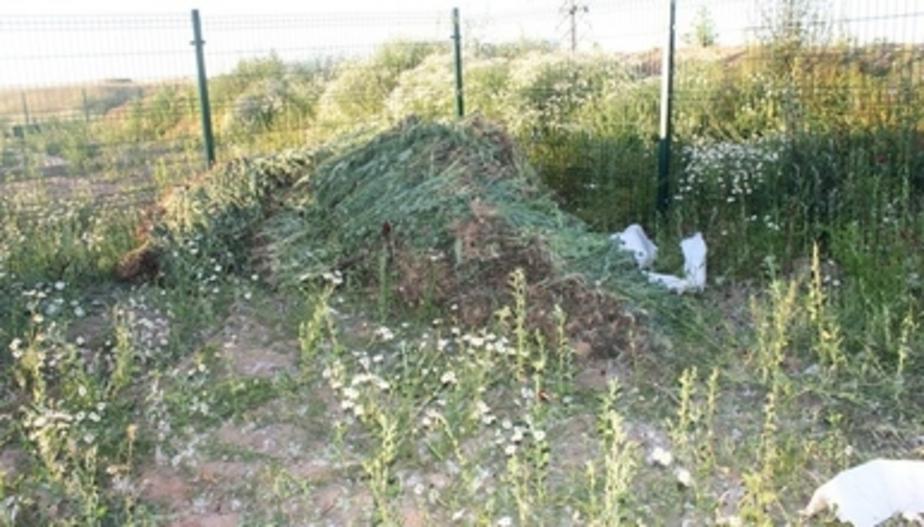 В России хотят вернуть промышленное выращивание опиумного мака