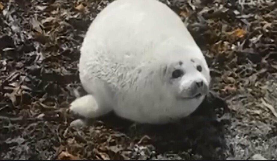 На Камчатке родился необычно толстый тюленёнок (видео)