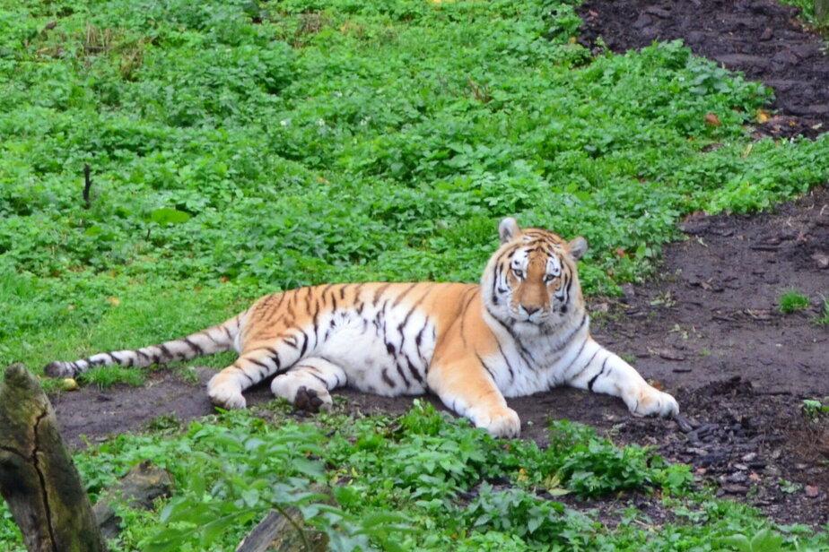 На кошках тренируемся: в зоопарке рассказали, как будут действовать при побеге зверя из клетки