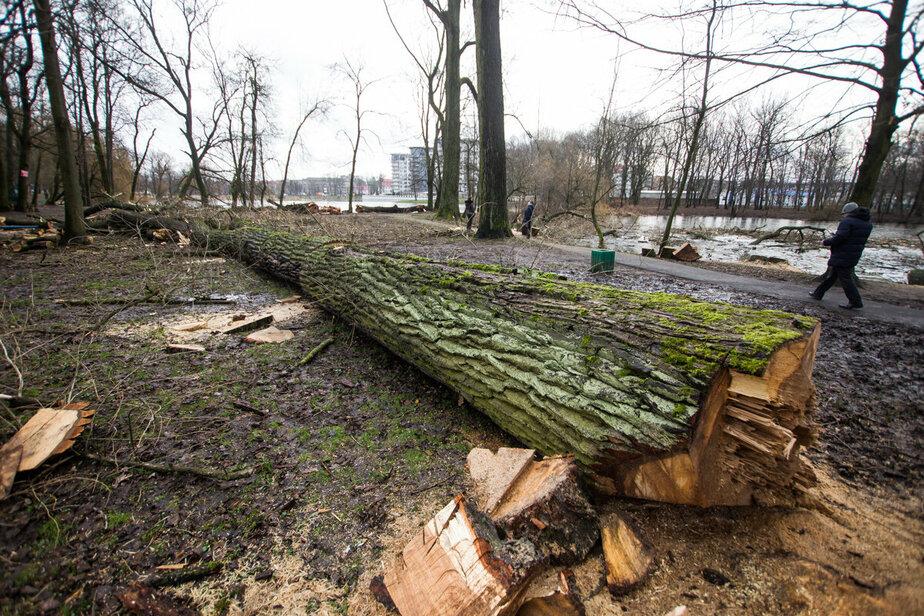 Калининградские экологи пожаловались в генпрокуратуру на вырубку ценных деревьев в регионе