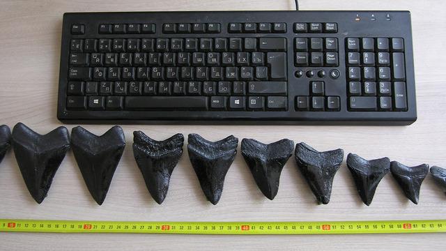 В Музее Мирового океана покажут челюсти древнейших акул