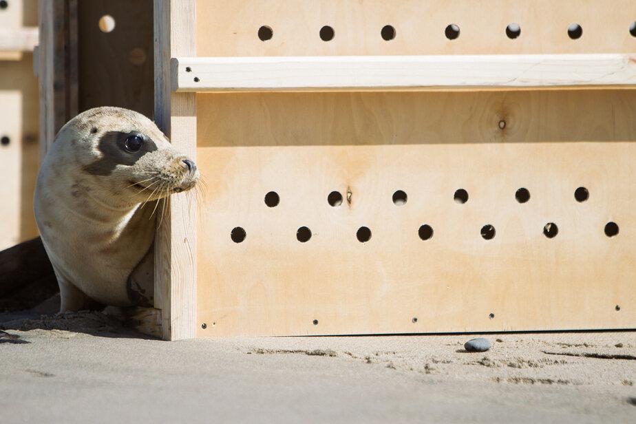 Калининградский зоопарк выпустит на Куршской косе двух тюленят, прошедших лечение