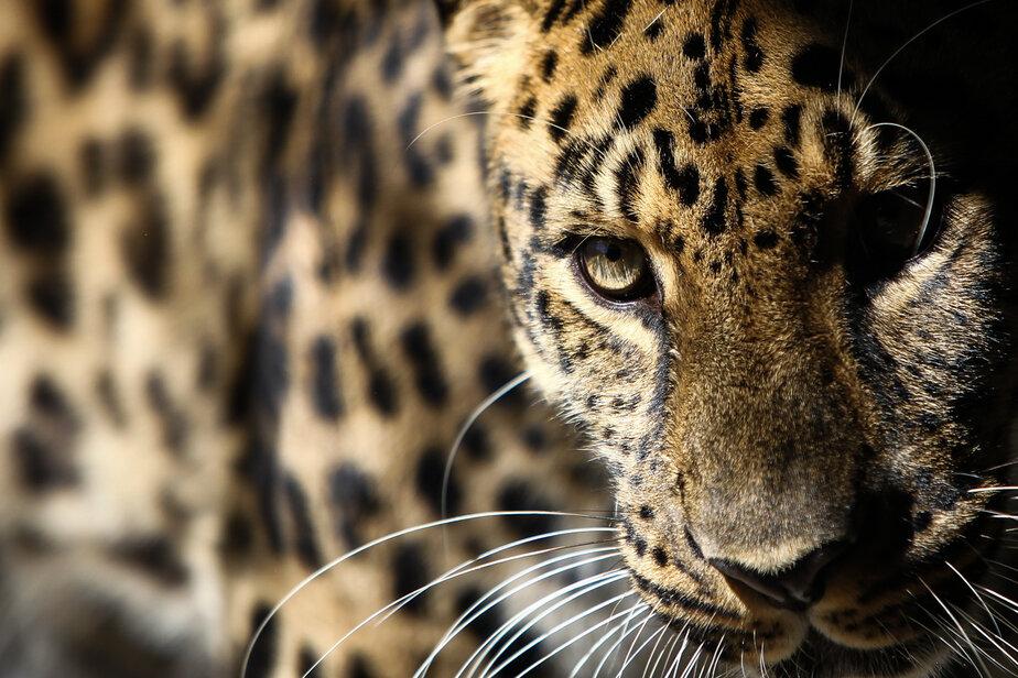 Калининградский леопард во Всемирный день кошек