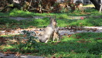 В Калининградском зоопарке впервые родилась патагонская мара (фото)