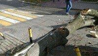 В Калининграде рухнувшее дерево заблокировало проезд по ул. Тюленина (фото)