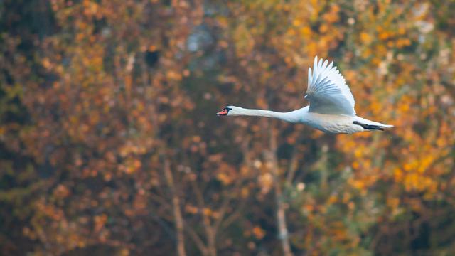 Лебедь в осенний день
