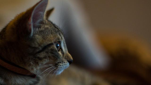 В Зеленоградск пригласили двух котов из Японии, которых на родине не пускают в местные музеи