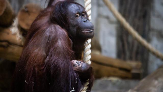 Самка орангутана с детёнышем в Калининградском зоопарке