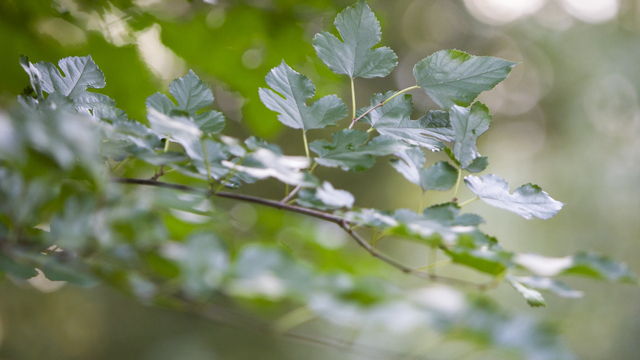 В Зеленоградске восстановят вырубленные в 2017 году зелёные посадки