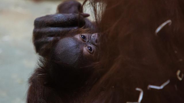 В Калининградском зоопарке самка орангутана кутает детёныша в одеяла (видео)
