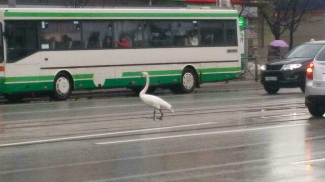 По Ленинскому проспекту в Калининграде гуляет лебедь (видео)
