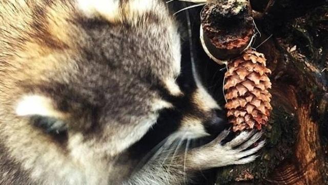 Калининградский зоопарк попросил принести енотам кедровые шишки
