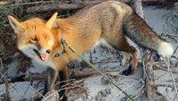 """В нацпарке """"Куршская коса"""" показали повзрослевшего лисёнка-подкидыша на прогулке (фото)"""