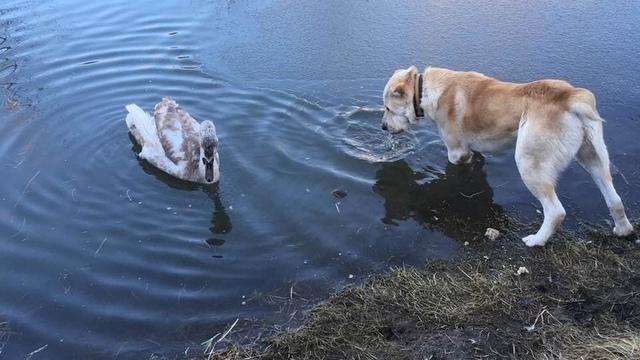 Вместе едят, гуляют и спят: в Багратионовске лебедь подружился с овчаркой (фото, видео)
