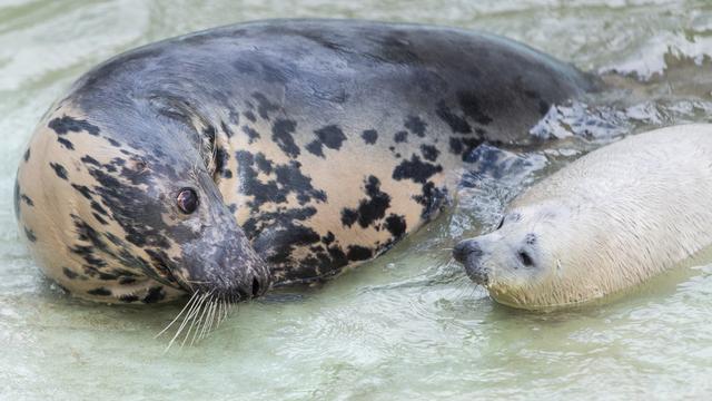 Мама учит маленького тюленёнка плавать: фоторепортаж
