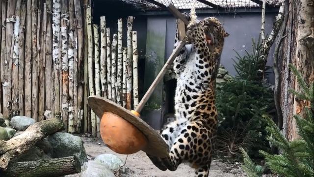 В Калининградском зоопарке для леопарда Хана повесили качели (видео)