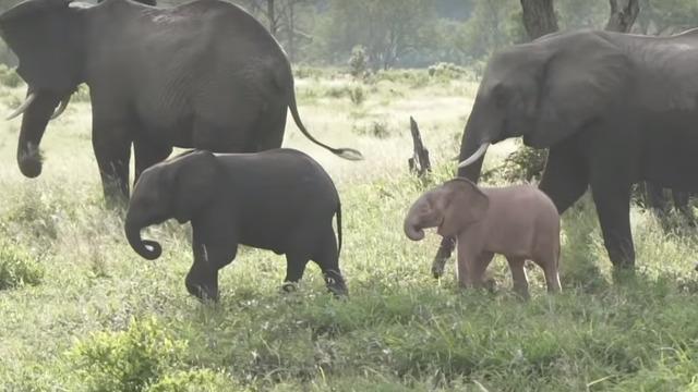 В ЮАР попал на видео необычный слонёнок розового цвета