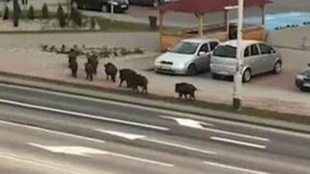 По улице Ольштына прогулялось стадо кабанов (видео)