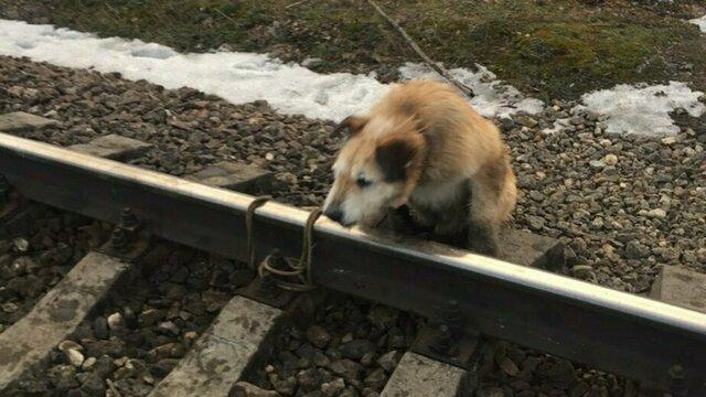 Привязавший собаку к рельсам под Петербургом мужчина объяснил свой поступок