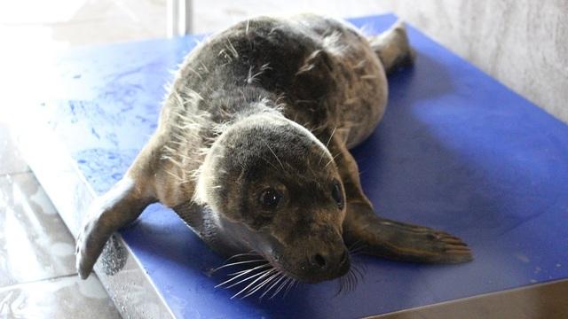 Калининградский зоопарк: спасённые в этом году тюлени толстеют прямо на глазах