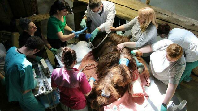 В Калининградском зоопарке тяжело заболел орангутан Бенджамин