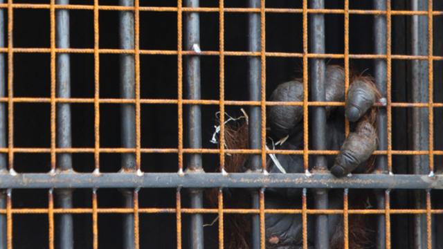 В Калининградском зоопарке умер борнейский орангутан Бенджамин