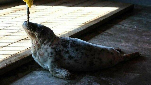 В Калининградском зоопарке спасённых тюленят учат есть самостоятельно (видео)