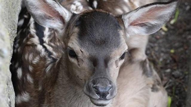 В Калининградском зоопарке родился оленёнок (фото)
