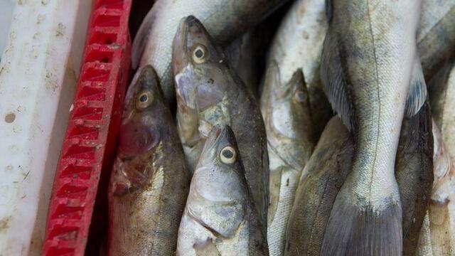 Калининградцу грозит два года тюрьмы за 150 выловленных рыб