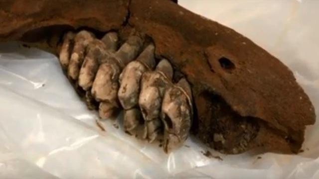 В США подросток нашёл челюсть гигантского доисторического животного (видео)