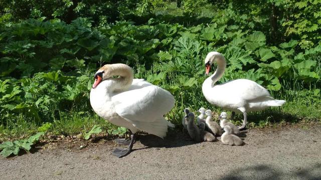 В Багратионовском районе на дороге гуляют лебеди с птенцами (видео)