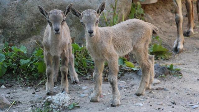 В Калининградском зоопарке пополнилось семейство винторогих козлов (фото)