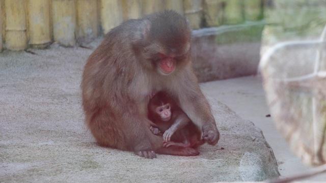 В Калининградском зоопарке у японских макак родился детёныш (фото)
