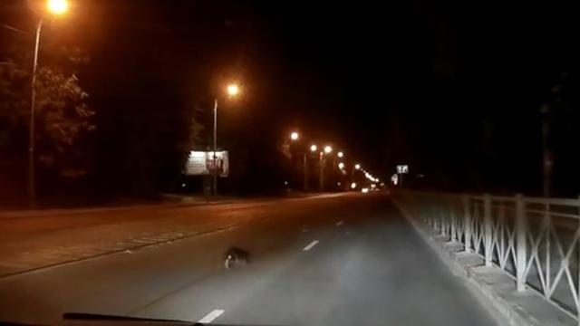 По ул. Дзержинского в Калининграде ночью гулял бобёр (видео)