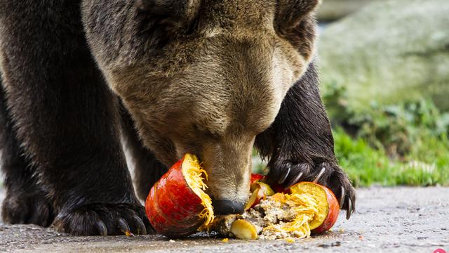 В Калининграде охрана вывела из зоопарка мужчину, пытавшегося подманить медведя банкой со сгущёнкой