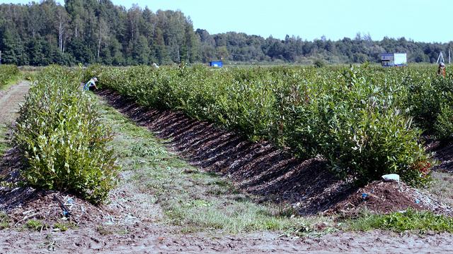 В регионе расширит производство предприятие по выращиванию клюквы, голубики и жимолости