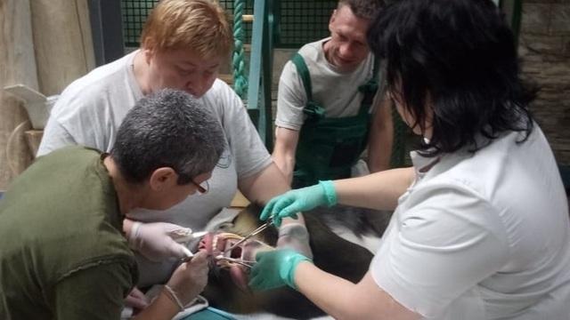 В Калининградском зоопарке у самца мандрила Мумбы удалили несколько опухолей (фото, видео)