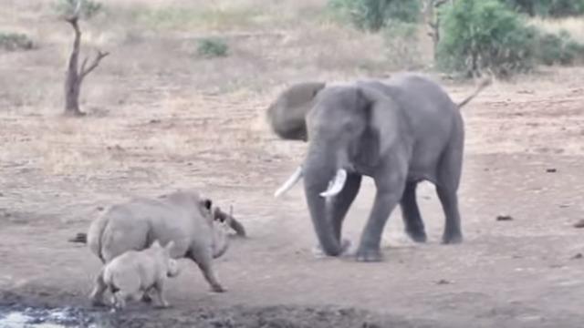 В нацпарке ЮАР драка слона и носорога попала на видео