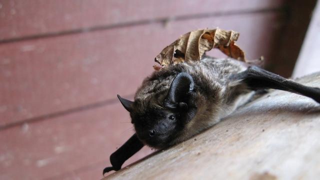 На Куршской косе поймали и окольцевали более 500 летучих мышей