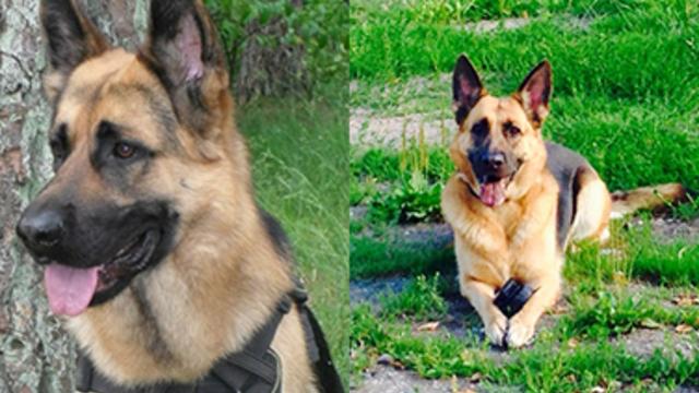 Вышедшие на пенсию полицейские собаки Роза и Райс обрели хозяев менее чем за сутки