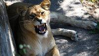 Европейские эксперты предложили Калининградскому зоопарку скормить бизонов львам