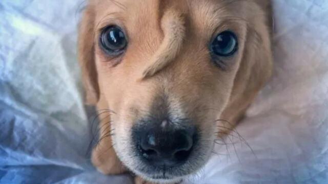 В США родился щенок с растущим из головы хвостом